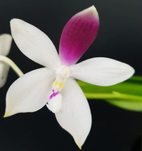 Phalaenopsis tetraspis Zheng